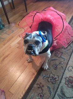 "❤ Dutchess in her pink tutu!  Dutchess was surrendered to Bulldog Haven when her owner fell ill & could no longer take care of her. Given her age & health problems -  Dutchess's foster parents made the choice to keep her through her golden years. (I think I heard the jingle of dog tags - when those foster parents got their ""angel wings"") In a home of 4 bullies - play is always on schedule. And w/cheeseburgers deliveries from her foster dad - I'd say Dutchess has won everyone's heart! ❤"