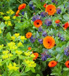 Grow these together to create a stunning array of deep orange, silver, purple and acid green flowers. This collection contains Calendula officinalis 'Indian Prince', Cerinthe major 'Purpurascens' and Euphorbia oblongata.