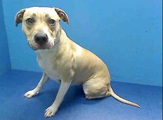 TO BE DESTROYED - 05/20/13 Brooklyn Center GINGER A0965429 Female tan/white pit mix about 2 YRS As scary as it all must have been for her, Ginger rolled w/ the punches & is described as friendly allowing all handling. She's in good health, obviously likes to eats. Ginger is on tomorrow's list & she needs to find a family now to Foster/adopt her. Tomorrow will be too late! www.facebook.com/...