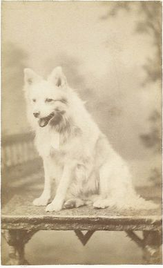 c.1870s cdv of white Spitz sitting on rustic table. Photo taken by Hellis & Sons, London.  From bendale collection
