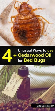 Make a bug spray repellent free of insecticides and pesticides to kill bed bugs. Essential oils like cedar, eucalyptus, lemongrass, and peppermint oil help prevent a bed bug infestation. #bedbugs… More Essential Oil Spray, Are Essential Oils Safe, Natural Essential Oils, Cedarwood Oil, Cedarwood Essential Oil, Natural Bed Bug Repellent, Bed Bug Trap, Bed Bug Control, Rid Of Bed Bugs
