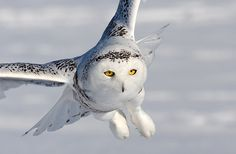 Snowy Owl (Bubo scandiacus) in flight close-up - Picture 11 in Bubo: scandiacus - Location: Quebec, Canada. Photo by Rachel Bilodeau.