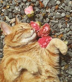 Rosas são vermelhas.  Violetas são azuis.  Eu sou amarelo. Um super beijo do Yellow. ♡ #Yellow #Gatíssimos #Gatos #ManiadeGato #Rosas #Flores #Amarelo #Poeta #Poesia #Cats #Roses #Flowers #Catlovers #Poet #Poetry