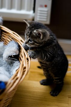 How utterly precious! Kittens are such curious creatures, and this one looks like he's trying to get into meowmy's yarn basket. Kittens And Puppies, Cute Cats And Kittens, I Love Cats, Crazy Cats, Kittens Cutest, Pretty Cats, Beautiful Cats, Animals Beautiful, Cute Baby Animals