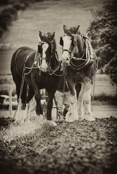 Draft Horses usually used as work horses Big Horses, Work Horses, Horse Love, All The Pretty Horses, Beautiful Horses, Animals Beautiful, Farm Animals, Cute Animals, Wild Animals