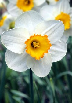 "April Queen daffodil, 1938 oldhousegardens.com. Very long lasting. Mid. 16""-18"""
