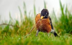 A robin pulls a worm from the ground on a rainy afternoon in Racine, Wis., on March 23. (Scott Anderson / Journal Times via AP) http://on.msnbc.com/HEE42y