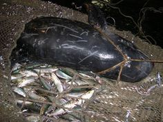 Super trawlers like the Margiris kill more than just fish  These pix were taken by researchers on board Dutch super trawlers while conducting peer-reviewed studies. © Greenpeace