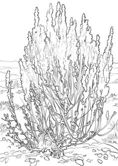 Big Sagebrush Coloring Page From Flowers Category Select 28391 Printable Crafts Of Cartoons Nature Animals Bible And Many More