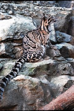 Profile of a clouded leopard