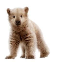 Polar Bear and Grizzly Bear hybrid called Pizzlies, Grolar Bears, among other things. Climate change and evolution have caused the two to cross territories, making bears with characteristics of both parents.
