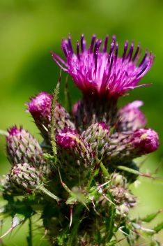 Thistle flowers during the Wildlife Trust's 30 Days Wild, Monkwood Nature Reserve. (Summer 2016) | Amy Tinson Photography