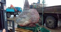 """Вот такую """"рыбку"""" удалось поймать #сахалин'ским рыбакам возле острова #Итуруп #рыба_луна    9 сентября сахалинское судно «Курильский рыбак» вытащило сетью очень редкий экземпляр рыбы-луны. Ее вес составил рекордные 1 100 килограмм.     Российские рыбаки работали около острова Итуруп, основная их цель — горбуша, а рыба-луна подвернулась случайно.     Пока рыбу доставляли на берег, измеряли и везли к пункту приема, — на все ушло три дня и она испортилась.    Луна обитает преимущественно в…"""