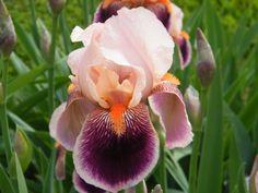 Gay Geisha Iris