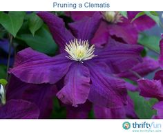 This is a guide about pruning a clematis. The clematis is a superb floral addition to your yard. With it's bright large flowers and hearty vine like growth, this flower is as much fin to grow as it is to admire.