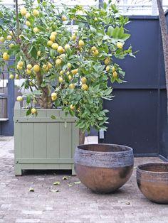 citroen-in-pot - mediterrane planten