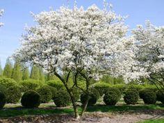Beautiful formal garden with flowering trees. Flowering Trees, Garden Design, Woodland Garden, City Garden, Plants, Outdoor Plants, Urban Garden, Garden Trees, Garden Inspiration