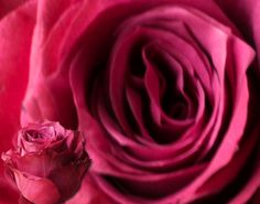 Uhuru Flowers - Producers of superior quality cut roses :: Varieties Raw Chocolate, Superior Quality, Flowers, Purple Roses, Blueberry, Beautiful, Color, Berry, Colour