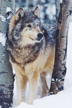 Lone Timber Wolf  | by: { Iain D. Williams }
