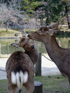 Nara, Japan...it really is all about the deer!