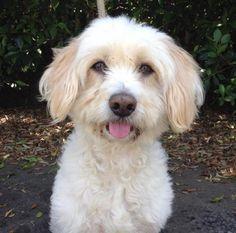 Sir Dudley Do- Right the Gentleman! Wheaten Terrier Mix, Gentleman, Adoption, Dog Breeds, Dogs, Wildlife, Animals, Beautiful, Image