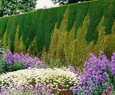 """Hedge of mixed Thuja occidentalis """"Frieslandia"""" and Thuja occidentalis """"Golden Smaragd"""". The latter grows slower than the first, creating this effect! Beautiful."""