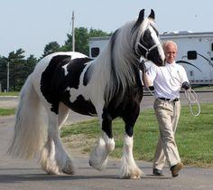 Gypsy horse- Emerald Winds Maya- National Champion