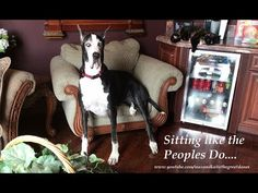 Katie the Great Dane Supervises Cat Nip Fest - YouTube