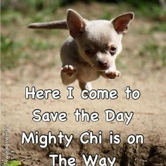 Mighty Chi #chihuahua #chihuahuatypes #chihuahuadogs