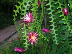 Selenicereus anthonyanus (Fish Bone Cactus) is a fast-growing epiphytic cactus with climbing stems. Succulent Gardening, Cacti And Succulents, Planting Succulents, Cactus Plants, Garden Plants, House Plants, Planting Flowers, Orchid Cactus, Cactus Flower