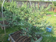 Blueberry Plant Raised Bed