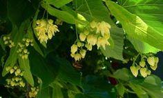 Τίλιο – Φλαμούρι (Tilia europaea): Ιδιότητες!