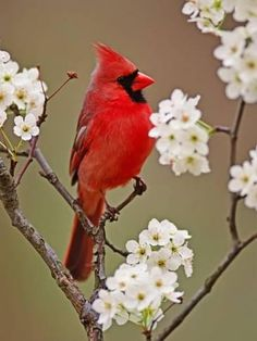 Photographic Print: Male Northern Cardinal Among Blossoms of Pear Tree by Adam Jones : 24x18in