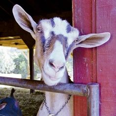 US goat cheese makers #goatvet Use my hints to increase your goat milk production http://www.goatvetoz.com.au