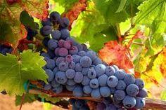 Tempranillo Grapes in Spain