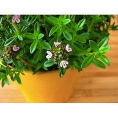 Dzięcielina, pieprzyk, ziele fasolowe, cząberek - oto kilka ludowych nazw jednego zioła - cząbru.