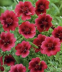 """Potentillas are easy perennials that love sunny, dry locations. Trim them back each spring to promote new growth and more blooms. Potentilla Monarch's Velvet  This is the perfect quick filler for your garden. They are 24"""" mounded plants with leaves like a strawberry plant. The following year and thereafter it is full of deep wine red flowers with a crimson velvet center throughout the summer. Perennials."""
