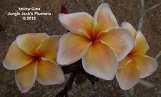 Yellow Gina -Jungle Jacks Plumeria  (WANT)