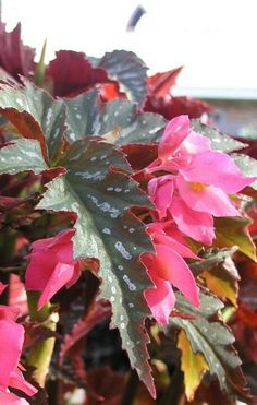 Angel wing Begonia: plant outside in a pot once roots grow from the cuttings, needs lots of water at first & needs to be moved inside for the winter. (gardening class)