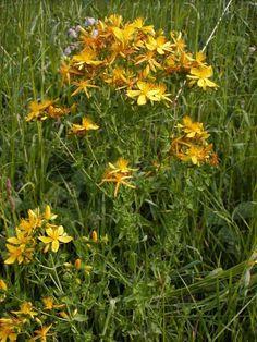 TŘEZALKA TEČKOVANÁ   POUTNÍCI ČASEM Medicinal Herbs, Flowers, Plants, Blog, Walkway, Medicine, Spices, Gardening, Facebook