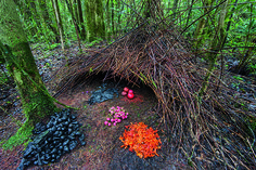 """If you can believe it, it's a birds nest...built by the male bowerbird, master craftsman when comes to making these cone-shaped hut structures. They also decorate the """"front lawn"""" with groupings of colorful flowers, leaves, and beetles to compete with their neighbors. If a female visits and likes the house and treasures gathered, they will mate..."""