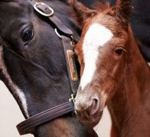 """Congrats Zenyatta on the new baby <3 """"Zenyatta has always been one for special occasions. In true form, she foaled just before midnight on her 9th birthday, after a day of celebration. She delivered a healthy colt by Tapit at 11:47 pm EST on Monday April 1. Estimated at 145 lbs, he is a leggy chestnut with a white blaze similar to Zenyatta's."""""""