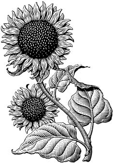 "Sunflower love. {Scratchboard illustration of Sunflower by Michael Halbert, via Behance. Used on the label of a shampoo. Meant to print about 3"" tall.}"