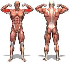 腕筋肉を付け太くする方法