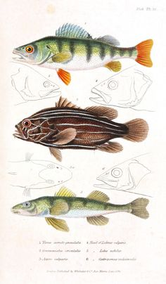 free vintage printables / fish - Couvier 1834