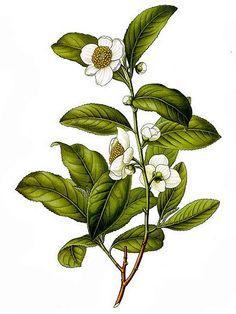 Camellia sinensis (tea plant) botanical print from Köhler's Medizinal