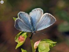 Paatsamasinisiipi, Celastrina argiolus - Perhoset - LuontoPortti Finland, Butterflies, Insects, Scenery, Bees, Nature, Plants, Animals, Beautiful