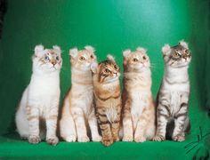American Curl cats! Their ears are curled backwards! SOOOO CUTE!!!! :) <3