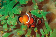"Visit Little Nemo in the Palma Aquarium. And amazing Aquarium like no other! This place offers more than dull ""fish tanks"". ----- Mora Information: http://www.nofrills-excursions.com/excursions-tours-thingstodo/port-alcudia/excursion-palma-aquarium/"