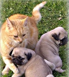 Pugs & Cat